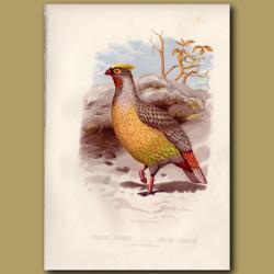 Blood Pheasant Or Sanguine Francolin