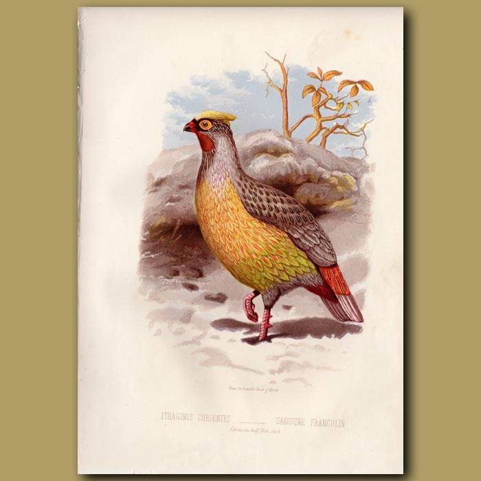 Antique print. Blood Pheasant or Sanguine Francolin