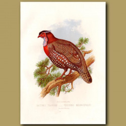 Hastings Tragopan (Pheasant)