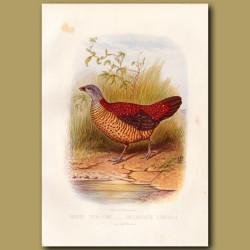 Painted Spur-Fowl (Pheasant)