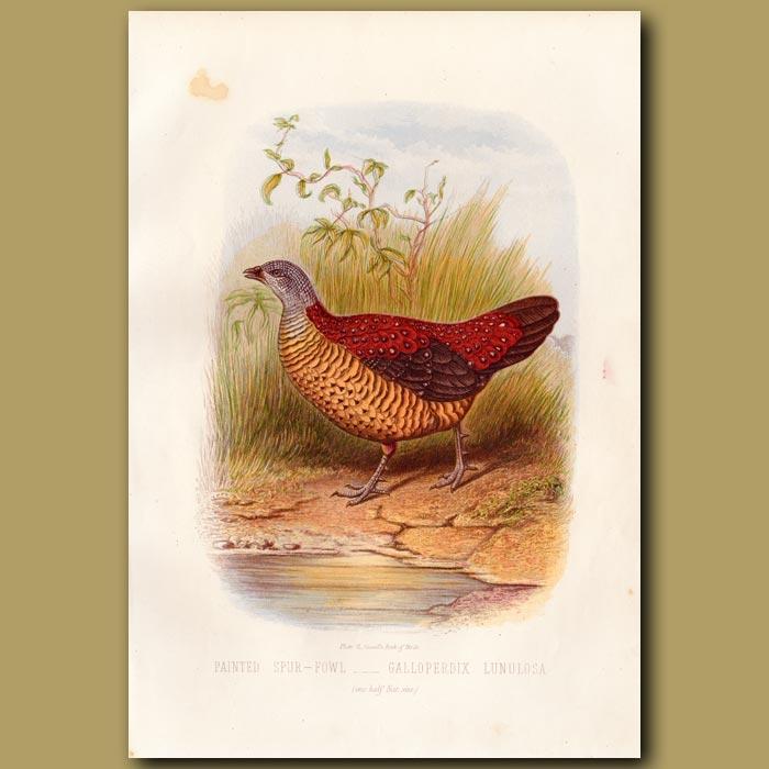 Antique print. Painted Spur-fowl (Pheasant)