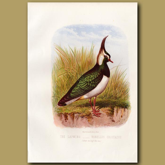 Antique print. The Lapwing