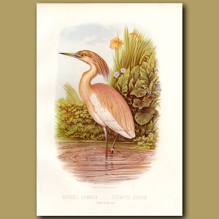 Antique print. Squacco Heron