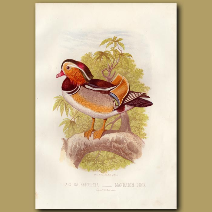 Antique print. Mandarin Duck