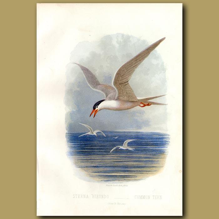 Antique print. Common Tern