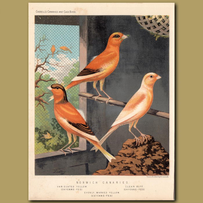 Antique print. Variegated Yellow, Clear Buff, Evenly-marked Yellow Canaries