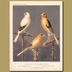 Goldfinch and Canary Mule Canaries