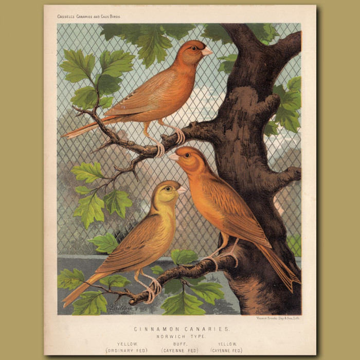 Antique print. Cinnamon canaries