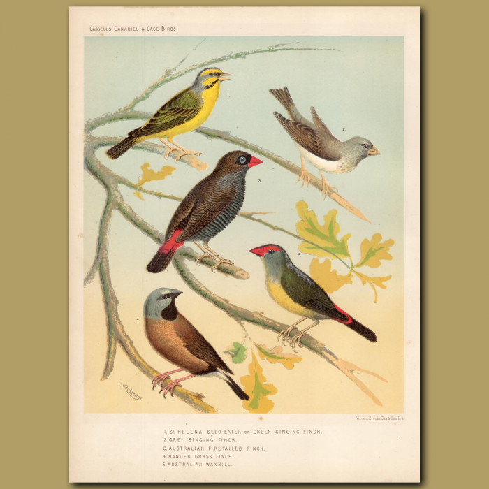 Antique print. St.Helena Seed-eater, Grey Singing Finch, Australian Fire-tailed Finch