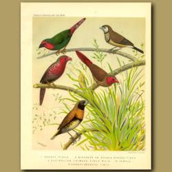Parrot Finch, Bicheno Finch, Australian Or Crimson Finch, Chestnut Breasted Finch