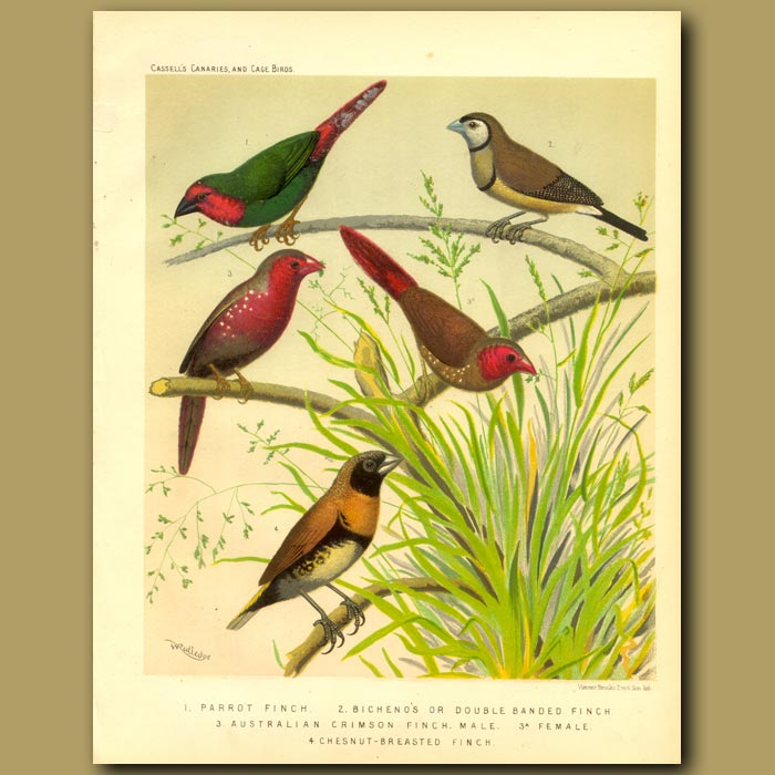 Antique print. Parrot Finch, Bicheno Finch, Australian Or Crimson Finch, Chestnut Breasted Finch