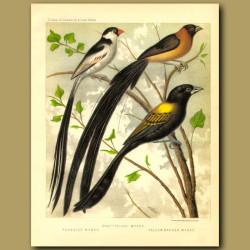 Shaft Tailed Whydah, Paradise Whydah & Yellow Backed Whydah