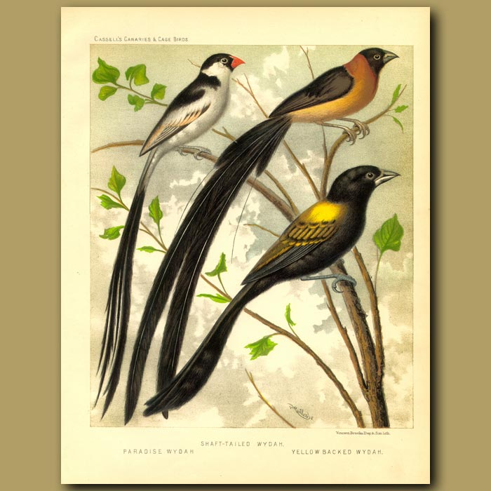 Antique print. Shaft Tailed Whydah, Paradise Whydah & Yellow Backed Whydah