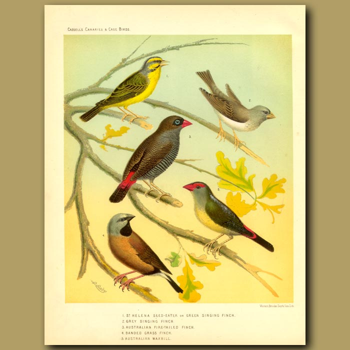 Antique print. Finches: St Helena Or Singing, Grey Singing,