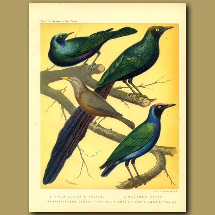 Antique print. Green Glossy Starling, Malabar Mynah, Purple-Headed Glossy Starling, & Long Tailed Glossy Starling