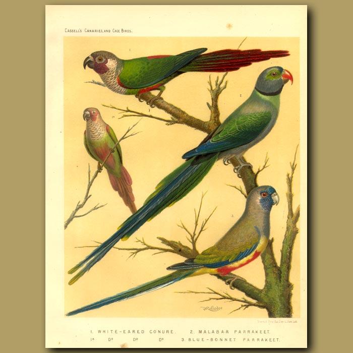 Antique print. White Eared Conure, Malabar Parrakeet, Blue Bonnet Parrakeet