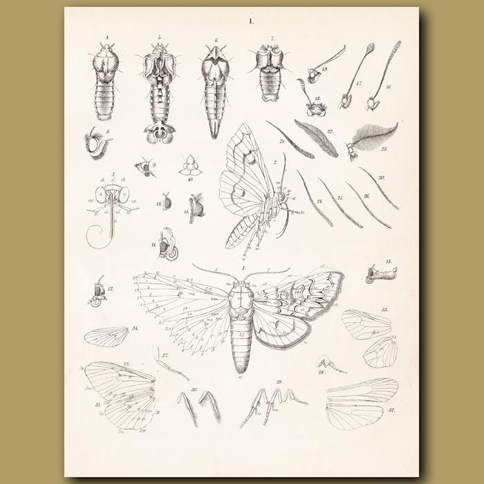Antique print. Anatomy of a Moth