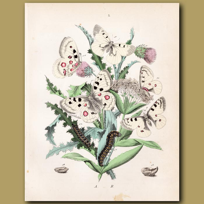 Antique print. Butterflies: Apollo, Veined and Mountain