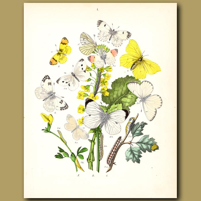 Antique print. Silver, Green and Orange Tipped Butterflies