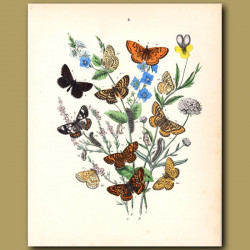 Butterflies: Tortoiseshells, Red Admiral, Painted Lady