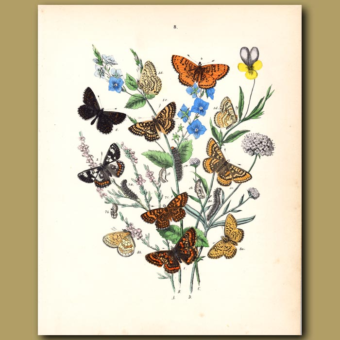 Antique print. Butterflies: Tortoiseshells, Red Admiral, Painted Lady
