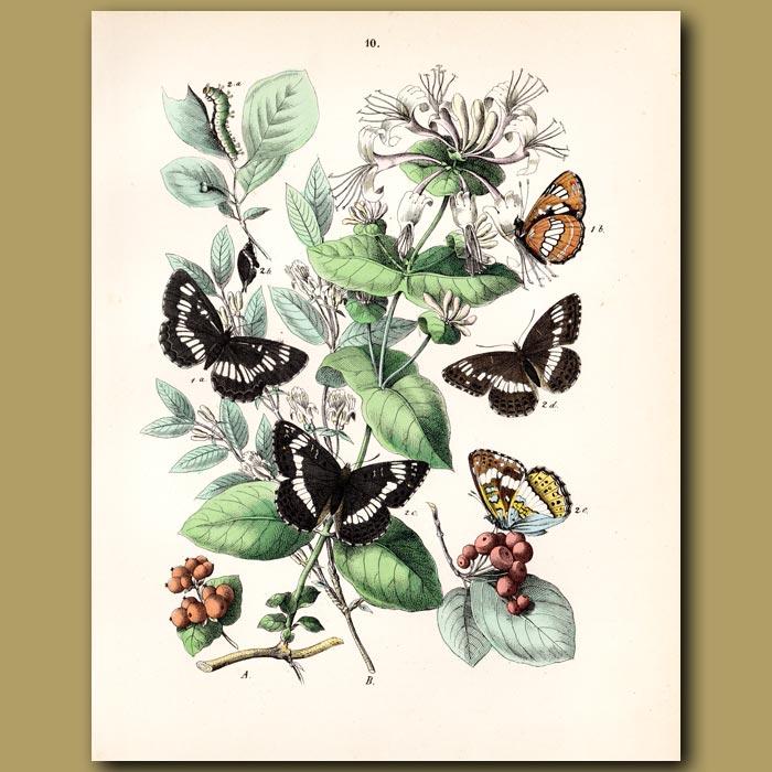 Antique print. Butterflies: White Admiral, Poplar