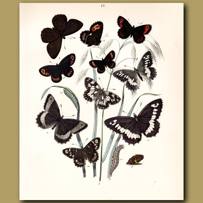 Antique print. Butterflies: Heath and Ringlet