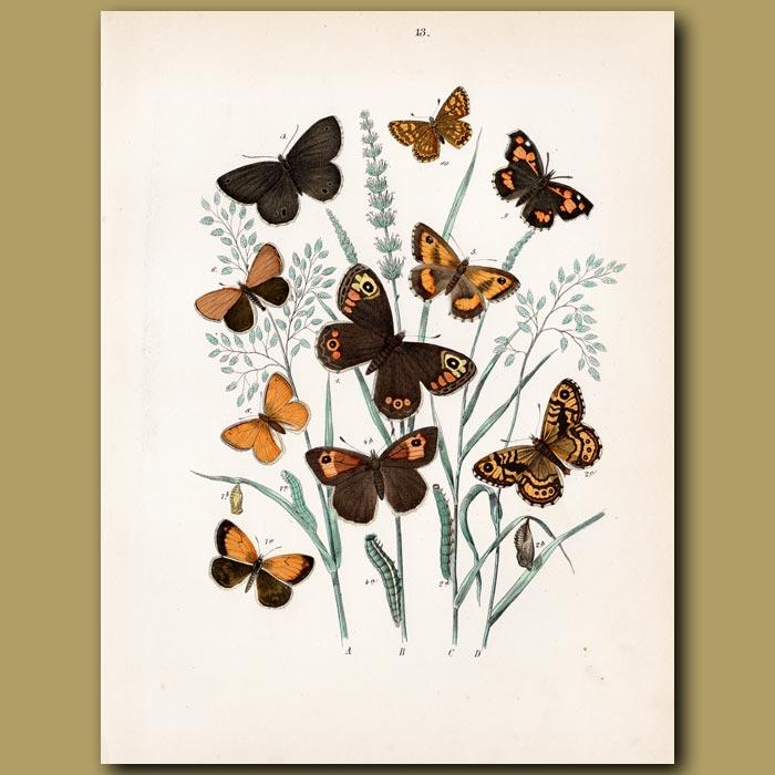 Antique print. Butterflies: Marbled White, Sicilian, Scotch
