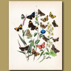 Butterflies on a Damson: Lycaenidae