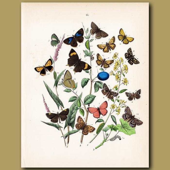 Antique print. Butterflies on a Damson: Lycaenidae