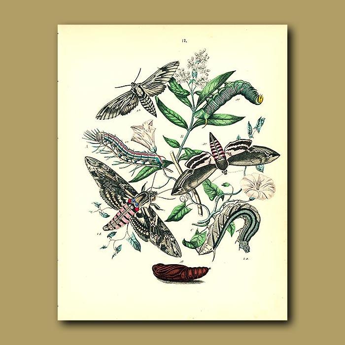 Antique print. Hawk Moths: Pine Hawk, Hawk, Privet Hawk