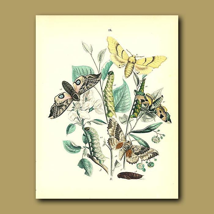 Antique print. Hawk Moths: Lime-Hawk , Poplar Hawk, Eyed Hawk
