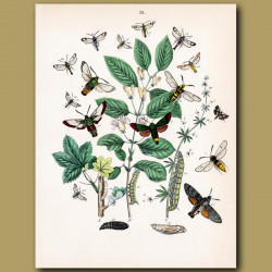 Hawk Moths: Humming Bird, Lime, Eye