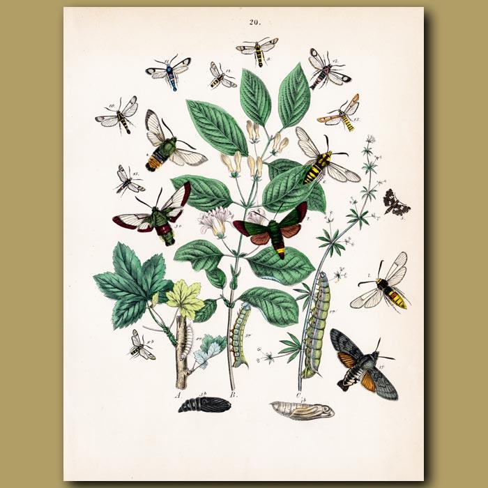 Antique print. Hawk Moths: Humming Bird, Lime, Eye