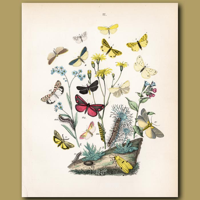 Antique print. Jewel like Moths