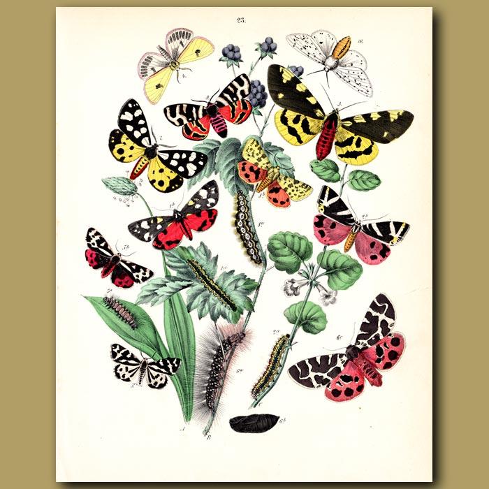 Antique print. Jewel-like Tiger Moths