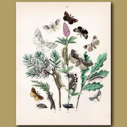 Tiger Moths: Scarlet, Jersey, Banded