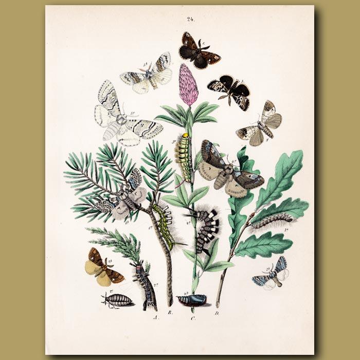 Antique print. Tiger Moths: Scarlet, Jersey, Banded