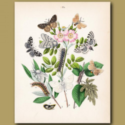 Tiger Moth and Swift Moth