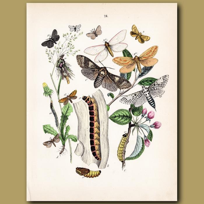 Antique print. Owl Moths: Hebrew, Quaker, Spotted