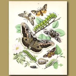 Satin Moths: Gypsy, Gold-tail