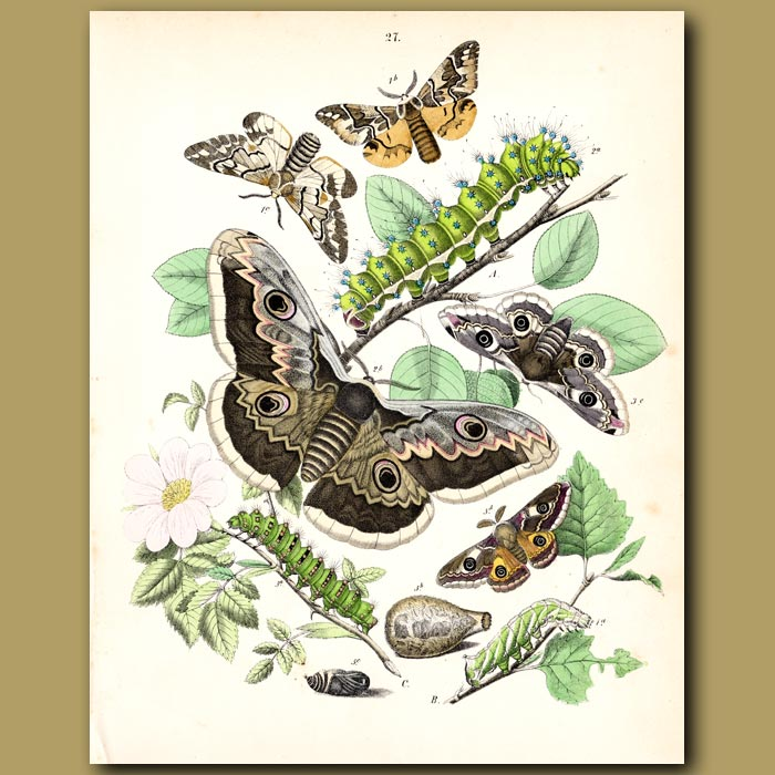 Antique print. Satin Moths: Gypsy, Gold-tail