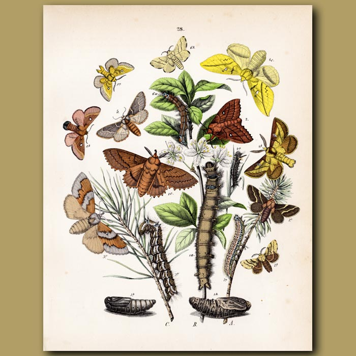 Antique print. Peacock and Emperor Butterflies