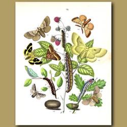 Moths: Lackey, Fox , Oak Eggar