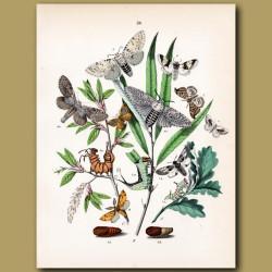 Moths: Oak, Eggar, Pine and Glory Moths
