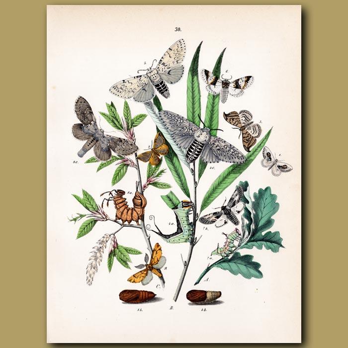 Antique print. Moths: Oak, Eggar, Pine and Glory Moths