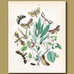 Kitten, Swallow and Lobster Moths
