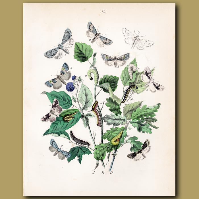 Antique print. Maple, Chocolate and Marbled Moths