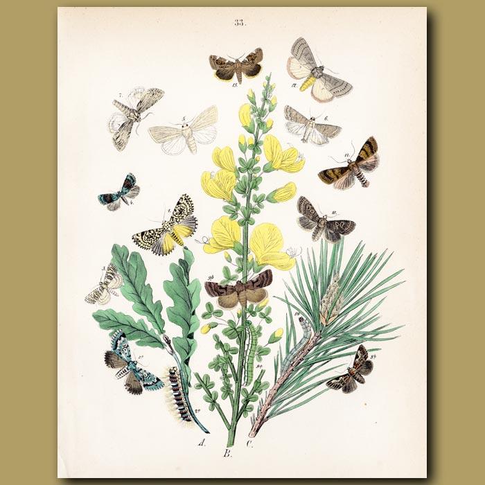 Antique print. Poplar, Peach Blossom and Dagger Moths