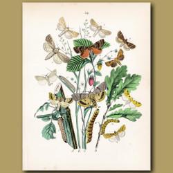Owl Moths